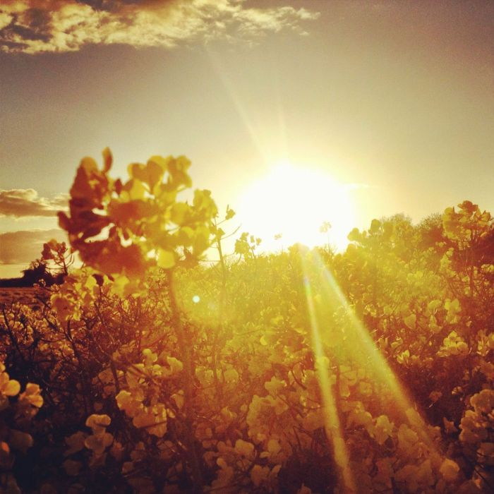 sunset over a field of rapeseed