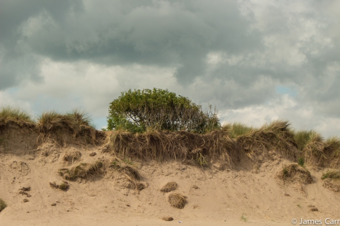 A tree that looks a bit like broccoli, on top of a dune. Baltray beach, Co. Louth