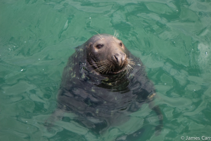 Hi there Mr. Seal! Port Oriel Harbour, Co. Louth